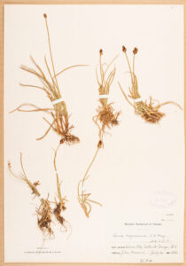Museum specimen of Black Alpine Sedge. This is the oldest specimen in the Royal BC Museum botany collection.