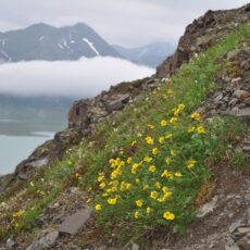 Alpine slope with flowers and mountain in the background.