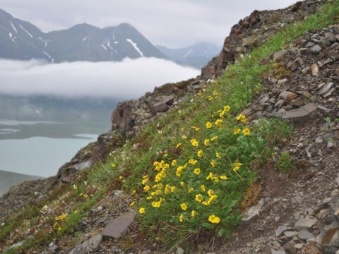 Alpine avens- a plant we rarely see