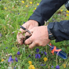 Close-up of hands pulling a small plant from the ground. A screw driver is held in one of the hands.