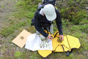 A kneeling botanist lays newly collected plants in a portable plant carrier.
