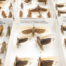 Une photo de criquets de la Caroline épinglés dans des boîtes au Royal BC Museum.
