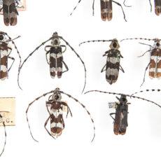 Une photo de spécimens appartenant à l'espèce Rosalia funebris de la collection du Royal BC Museum.