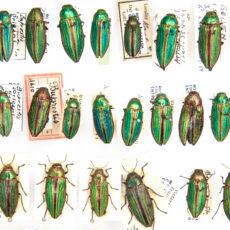 Une photo de spécimens colorés appartenant à l'espèce Buprestis aurulenta.