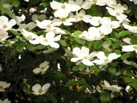 Western Flowering Dogwood