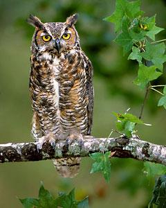 Great Horned Owls, Bubo virginianus