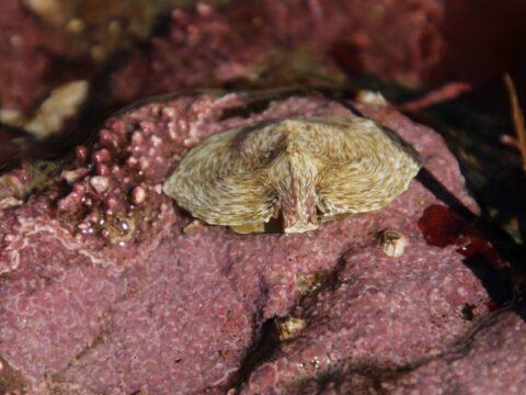 Umbrella Crab