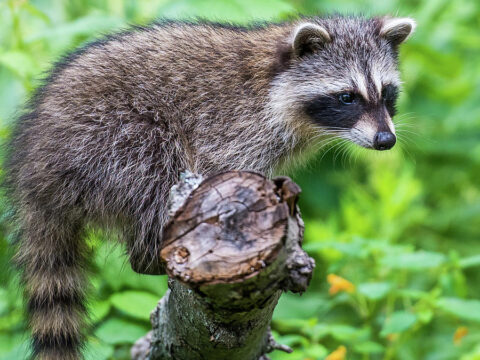 Racoons, Procyon lotor, common
