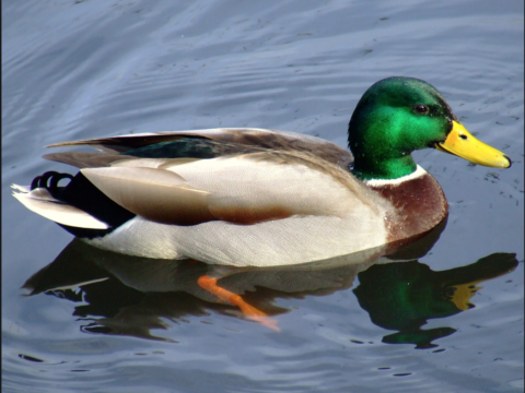 A Random Picture of a Duck