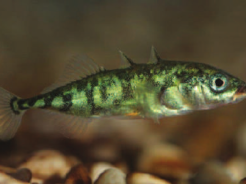 Three spined stickleback, Gasterosteus aculeatus  (common)