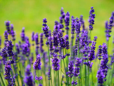Who Used Native Plants for Medicinal Purposes?
