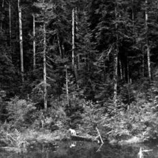 Black and white image of a thick forest of evergreen trees leading up to a pond where a small Spirit Bear stands on a log