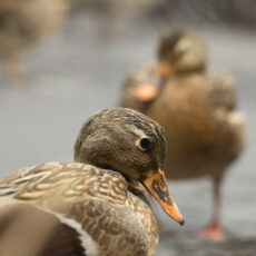 A female mallard duck in profile with another one in the distance.