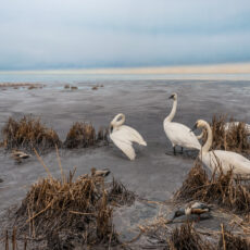 Swans and small birds such as American Widgeons sit on a muddy delta leading up to the ocean.