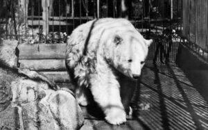 A black and white photo of the Kermode Bear in the Beacon Hill Park Zoo, Victoria, British Columbia