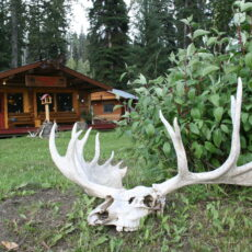 Moose skull with antlers in front of a log cabin surrounded by conifer trees.