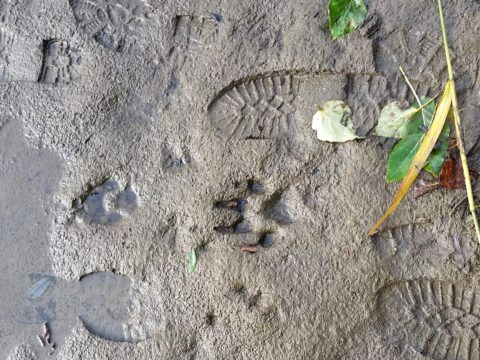 47wolf and boot tracks at fossil leaf locality