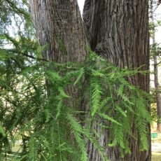 Green, feathery needle-like leaves are splayed in front of a thick tree trunk with deep furrowed bark.