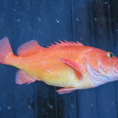 A dead orange/red fish with yellow eyes and stomach.