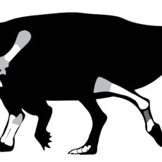 A line drawing with a simple black shape and outline of a dinosaur with a small horn atop its head, short legs and a long tail. Portions of some shoulder, foot, toe, and leg bones are highlighted in white and grey.