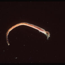 Small skinny worm with pink tentacles coming off its head.