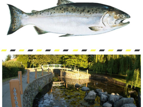 Could salmon spawn in Bowker Creek