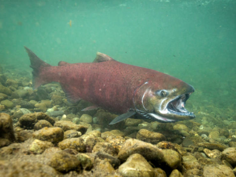 Why Didn't Salmon Come Back?