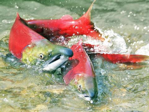 Bowker Creek's Salmon Run