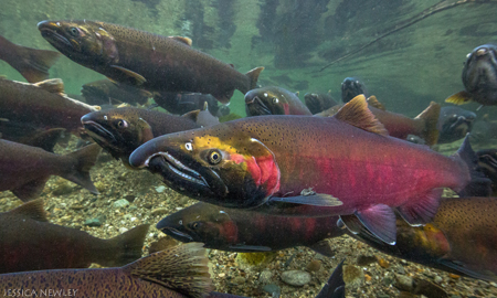Have salmon spawned in the creek in the past?