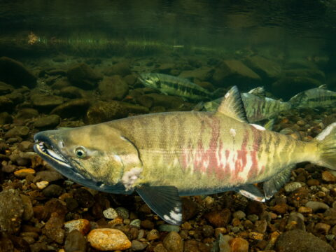 What Species of Salmon Would be the Best Fit For the Creek?