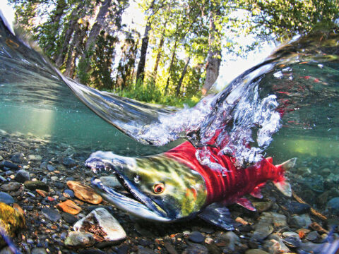 Why Would Salmon in the Creek be Beneficial?