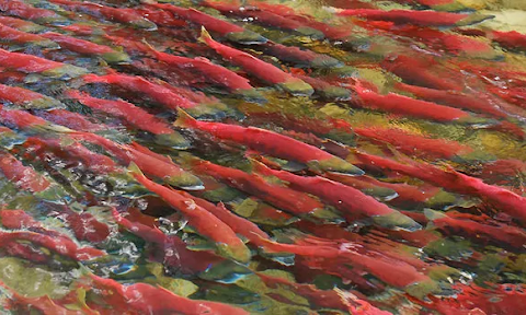 Where is the closest salmon spawn to Bowker Creek?
