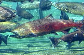 Why did salmon leave the Bowker creek ecosystem?