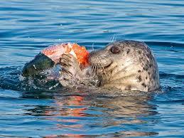 What are salmon's main predators?