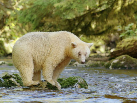 Endangered species: Kermode Bear